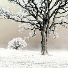 Winter Trees, surreal manipulated image of oak trees