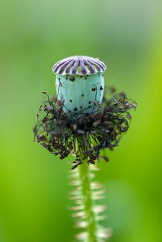 Poppy Seed Pod by jardinoMe Exotic Plants, Exotic Flowers, Beautiful Flowers, Nature Plants, All Plants, Planting Seeds, Planting Flowers, Strange Flowers, Plant Fungus