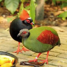 The Crested Partridge (Rollulus rouloul) also known as the Crested Wood Partridge, Roul-roul, Red-crowned Wood Partridge, Green Wood Quail or Green Wood Partridge is a gamebird in the pheasant family Phasianidae of the order Galliformes, gallinaceous birds. It is the only member of the genus Rollulus. This small partridge is a resident breeder in lowland rainforests in south Burma, south Thailand, Malaysia, Sumatra and Borneo.