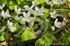 Close up oxalis - sorrel - acetosella