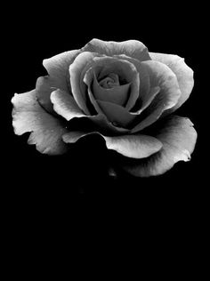 grayscale rose - Yahoo Image Search Results