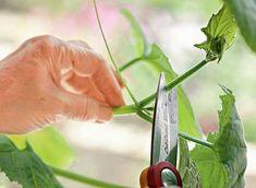 Как вырастить огурцы на подоконнике
