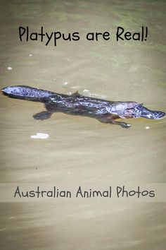 This platypus is one of many exciting animals we photographed in Australia.  See more: http://www.albomadventures.com/australian-animals/ via @Rhondaalbom
