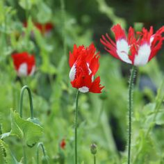 Beautiful red and white flowers