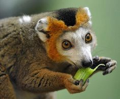 Crowned Lemur snacks on celery - Pixdaus. The Crowned lemur (Eulemur coronatus) lives in Madagascar and is listed as a Vulnerable species by the IUCN. However, if deforestation continues in Madagascar, one might expect the species' status to change. Primates, Mammals, Vida Animal, Mundo Animal, Amazing Animals, Animals Beautiful, Nature Animals, Animals And Pets, Small Animals