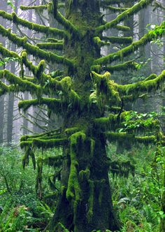 ancient mossy tree ~ nature perfecting upon perfection!!! decorating artistic arms of this majestic masterpiece in velvet moss!!!