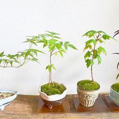 紅葉が楽しめる豆盆栽もいろいろ仲間入りしています #盆栽 #豆盆栽 #モミジ #ヤマハゼ #樹と環 #Kitowa #名古屋