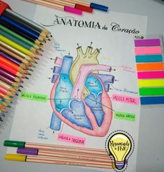 Apesar de toda sua importância e potencia, o coração humano é relativamente pequeno, do tamanho de um punho fechado aproximadamente.  Ele fica apoiado sobre o diafragma, perto da linha media da cavidade torácica, no mediastino, a massa de tecido que se estende do esterno à coluna vertebral; e entre as poeiras dos pulmões.
