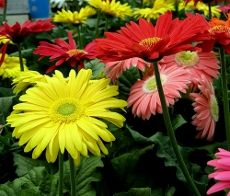 Gerbera daisies are commonly grown for their bright and cheerful daisy-like flowers. Get information on growing gerbera daisy flowers in this article so you can enjoy them in your garden. Gerbera Daisy Care, Gerbera Jamesonii, Daisy Flowers, Gerber Daisies Care, Gerbera Plant, Flower Bouquets, Clay Flowers, Blooming Flowers, Bridal Bouquets
