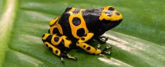 Yellow-Banded Poison Dart Frog | Tennessee Aquarium