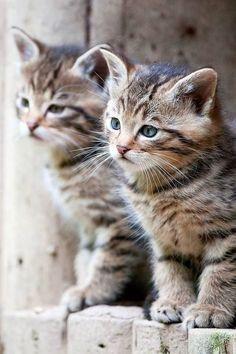 Two Twin Kittens