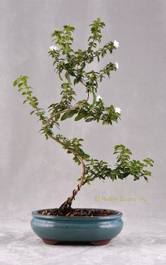 ~~Tree of a Thousand Stars | Double White Snow Rose Bonsai, Serissa flora-plena. Blooms profusely with single or double white miniature flowers | by Robin Evans~~