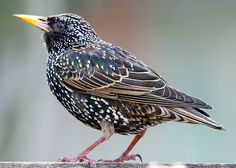 Mozart's favorite pet was his Starling, when it died, he wrote it a 24 line Eulogy.