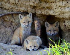 Baby Foxes of Wabamun Lake