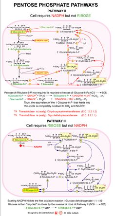 Pentose Phosphate Pathways - Pathway II Biology Revision, Ap Biology, Molecular Biology, Science Biology, Medical Science, Medical School, Medicinal Chemistry, Organic Chemistry, Biochemistry Notes
