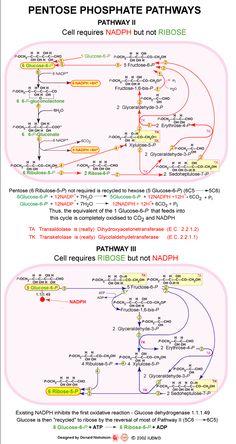 Pentose Phosphate Pathways - Pathway II Biology Revision, Ap Biology, Molecular Biology, Science Biology, Medical Science, General Biology, Medical School, Medicinal Chemistry, Organic Chemistry