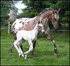 Mother and foal Knabstrupper horses <3