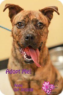 Camden, DE - American Pit Bull Terrier Mix. Meet Anne, a dog for adoption. http://www.adoptapet.com/pet/9766987-camden-delaware-american-pit-bull-terrier-mix