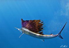 sailfish-photo-finalists0166.jpg (1000×705)