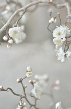 White cherry blossom | flower photography | floral photos | White photos