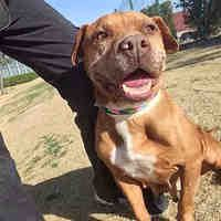 Pictures of CRINKLES a American Pit Bull Terrier for adoption in Mesa, AZ who needs a loving home.