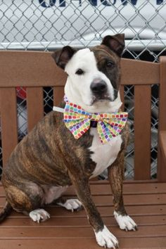 SUPER URGENT Brooklyn Center HENNESY – A1073020 FEMALE, BR BRINDLE / WHITE, AMERICAN STAFF MIX, 3 yrs OWNER SUR – EVALUATE, NO HOLD Reason PET HEALTH Intake condition INJ MINOR Intake Date 05/09/2016, From NY 11213, DueOut Date 05/09/2016