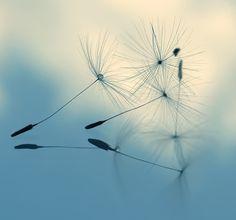 """cloud nine dandelion  by Ingz  ART PRINT / MINI (8"""" X 8"""")  $18.00"""