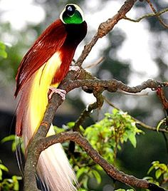 birds of paradise new guinea | The Bird of Paradise is the national bird of ... | Birds, Bees, & But ...