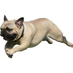 An adorable cutout photo of a pug leaping through the air.