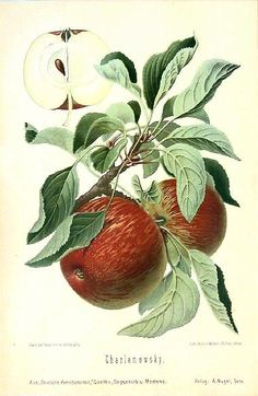 Botanical Antique Print Charlamowsky Apple 1894 | eBay