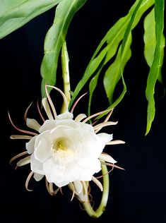 Received a cutting of Night-Blooming Cereus