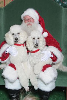 Standard Poodles and Santa. This is so sweet and look at their painted nails