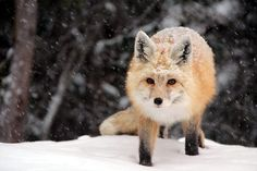 Fox in snowy Mount Rainier National Park (Photo: Leslie Otto, Bellevue)
