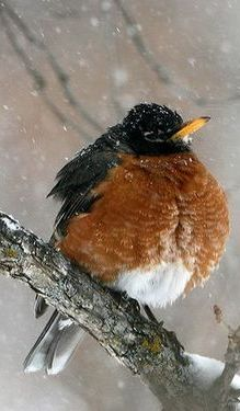 American Robin (Turdus migratorius) songbird of the thrush family ~ They could have picked a nicer Latin name!  :)