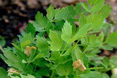 Korn, Detox, Herbs, Plants, How To Clean Aluminum, Recipes, Homemade Recipe, Health, Herb
