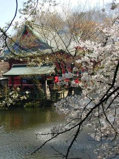 Cherry blossoms, Kichijoji, Tokyo