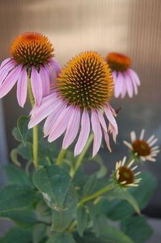 Coneflower Purple- Native  Skip the overly-hybridized, nectar-less Echinacea varieties.  Plant this native and nature will thank you.