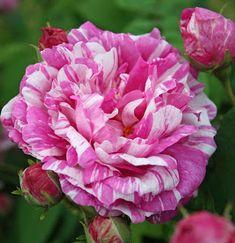 ~Rosa gallica 'Camaïeux' (France, 1826)