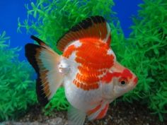 Goldfish Auction 12/30/12 Short tailed Tri-color Ryukin by Goldfishnet.com. Tommy, Owner