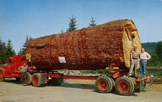 Giant Fir Log Postcard Logging Lumberjack w/ Old Truck Oregon Washington Tree Logs, Old Trees, Logging Equipment, Heavy Equipment, Cool Trucks, Big Trucks, Semi Trucks, Heavy Truck, Big Tree