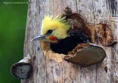 blond-crested woodpecker (celeus flavescens) from south america.  yeah, this is what i keep trying to get my hair to look like!  lol!