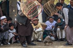 Afghan men watch partridge fighting in a park.The fighting Kowk is prized by its owners, who lavish great care and keep them in domed wicker cages.