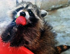 this crafty critter no doubt,  borrowed this strawberry from someone's table….