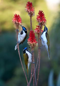 Exotic birds - Blue Face Honey-eaters in search of nectar.