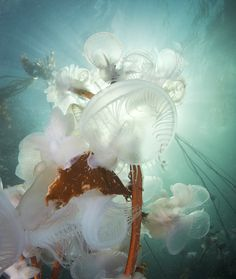 Hooded Nudibranches - photo taken by Richard Salas near God's Pocket Diving Resort in BC, Canada