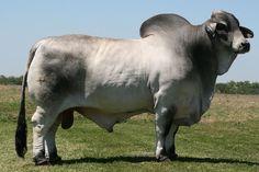 fotos de toros sementales brahman | fotos de toros toros toros brahman toros cebu toros charolais toros ...