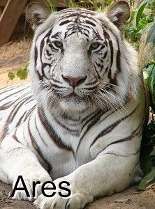 Ares- White (Tiger Haven, USA)