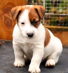 Jake Jack Russell Terrier, Iris, Corgi, Animals, Cutest Dogs, Corgis, Animales, Animaux, Animal