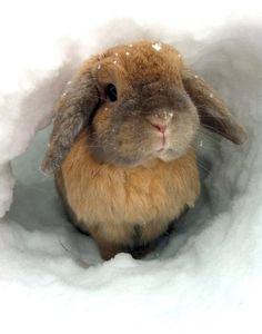 pretty bunny in the snow.