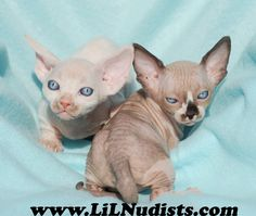 Two of LiLNudists Finest! This is Imhotep and Sweeny when they were babes growing up together! Such beauties! Was a joy to raise these two sweet boys. April Arguin Bambino Cat Breeder LiLNudists@gmail.com (321) 537-2763 www.LiLNudists.com